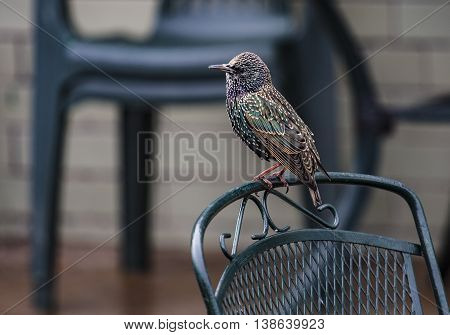 Starling on a chair at Weston -Super-Mare