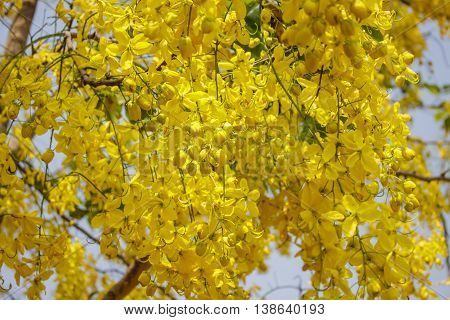 Cassia fistula bloom on tree in the garden