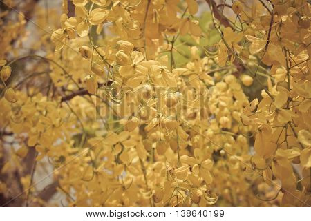 Cassia fistula or Golden shower bloom on tree in the garden Thailand