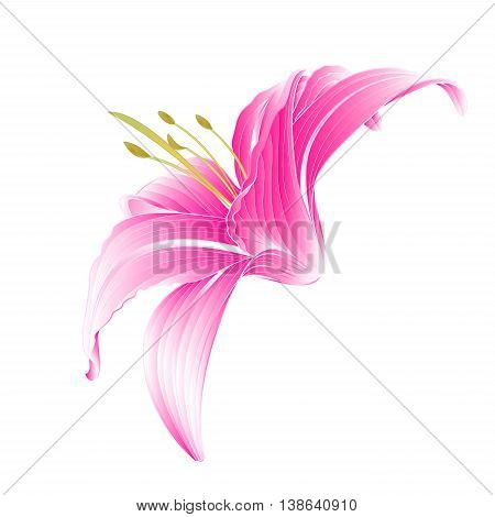 Flower Daylily pink Lily on a white background vector illustration