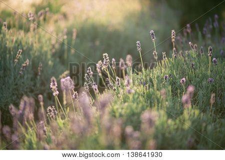 Lavender, close up of fresh lavender field