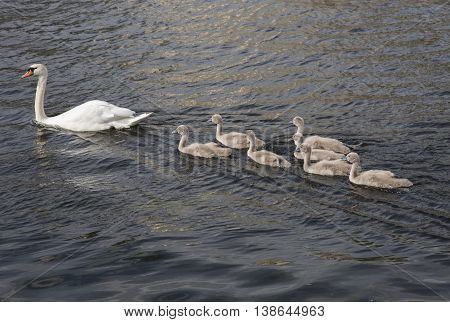 Swan and young swan floating on water