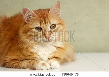 Portrait of a young red-haired cats close up