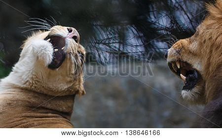 The grin of lion and lioness on the reflection trees background