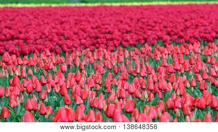 Rows of Red Tulips in Dutch Countryside. Dutch bulb field of colorful tulips.
