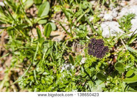 Inflorescence Plants Pachypleurum Ledeb..