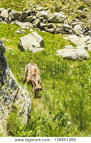 Tatra Chamois Eats Young Plant.