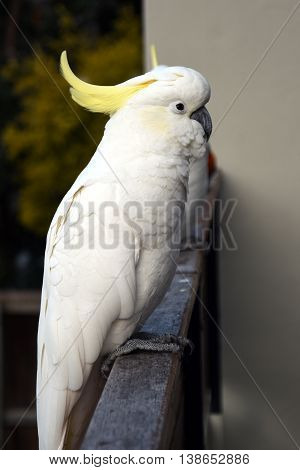 Portrait of Yellow-crested Cockatoo (Sydney, NSW, Australia)