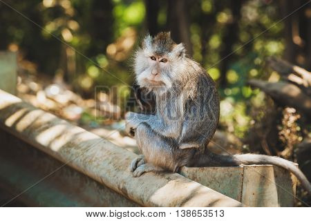 The long-tailed macaque photographed in the Holy Monkey Forest of Sangeh in Bali.