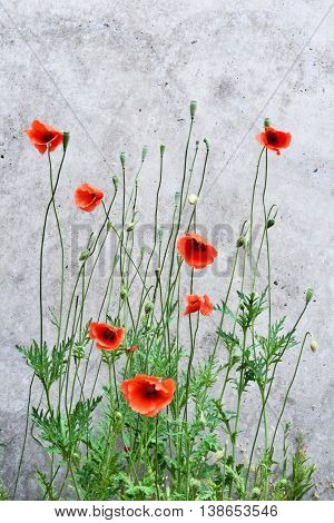 Poppy background with concrete wall. Blossoming poppy flowers on a grunge wall. Nature background with copy space.