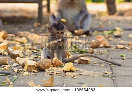 Baby monkey is eating in sacred forest, Bali, Indonesia