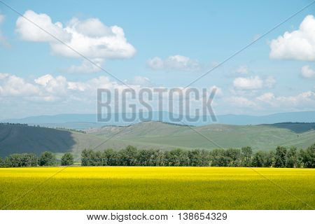 Beautiful cultivated yellow field. Hilly landscape .