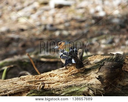 Male Chaffinch perched on an old log