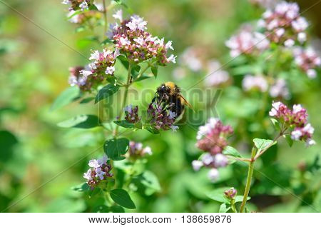 bumblebee pollinating pink weed on a meadow in summertime