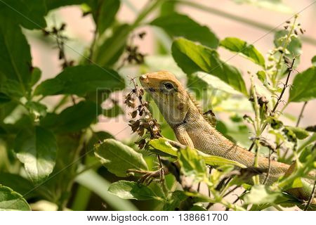 Lizard on the tree, chameleon, Lizard walking on treetops