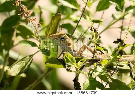 Lizard on the tree, chameleon, Lizard walking on treetops