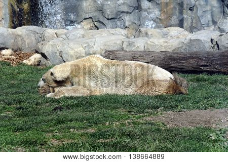 A white polar bear (Ursus maritimus) relaxes on a lawn.