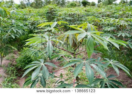 The cassava planting for food and health