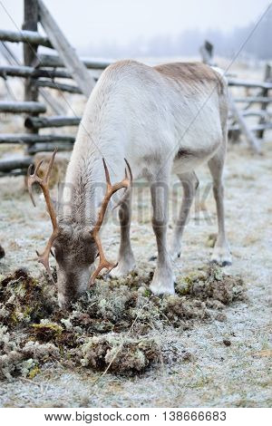 Reindeer eating moss in Finnish Lapland. Early winter.