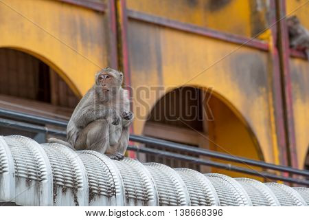 Crab-eating macaques on a roof of a house Phetchaburi Thailand. Urban wildlife and pest concept.