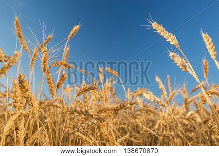 Wheat field against a blue sky. wheat harvest in the field. ripe wheat closeup.