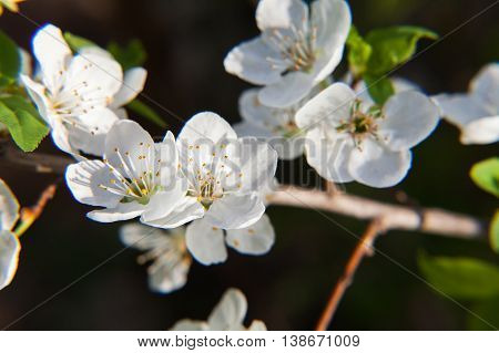 The blossoming cherry branch on a black background. Spring blossoming of an apple-tree. Spring blossoming of cherry. The blossoming apple-tree. The blossoming cherry. The blossoming apricot.