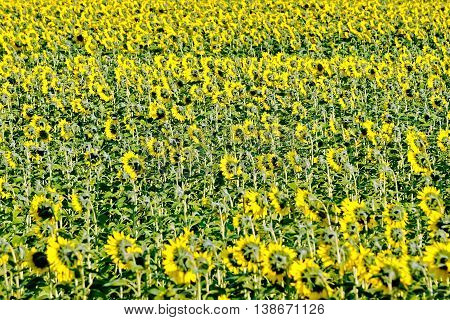 Field with yellow flowers of sunflower and green leaves