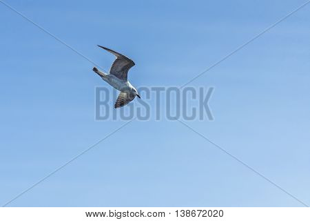 A hunting bird fly in swooping. A flying seagull hovers over sea
