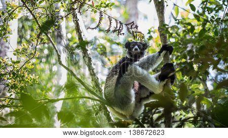 Shot of Indri lemur in natural habitat. Madagascar