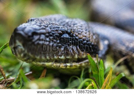Close up shot of the head of snake on the green grass. Madagascar