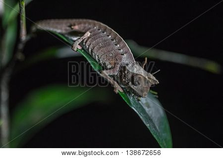 Close up shot of the chameleon on the green leaf in a forest. Focus on the body. Madagascar