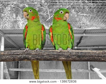 Two green parrots perched on wooden beam.