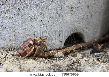 Hermit crab (Dardanus calidus) in the beach of Okinawa Japan