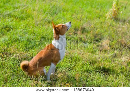 Cute Basenji dog is looking up on the sky