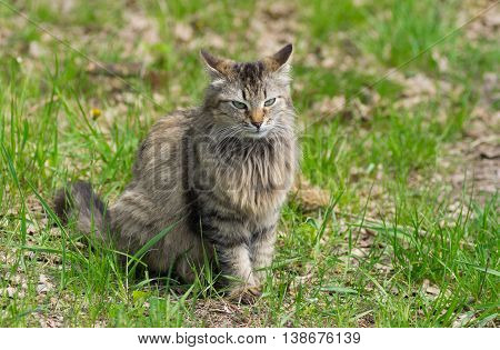 Full body portrait of long-haired cat sitting in spring grass