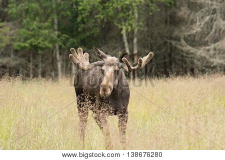Bull Moose on grass field. Big male elk.