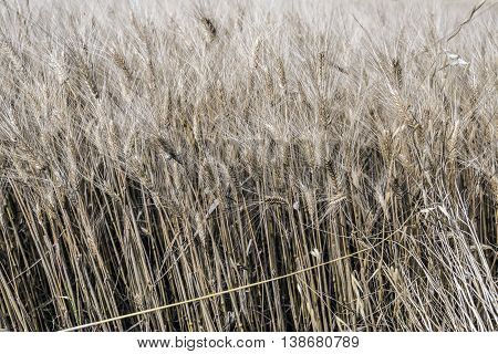 ripe Wheat ears outdoor macro close up