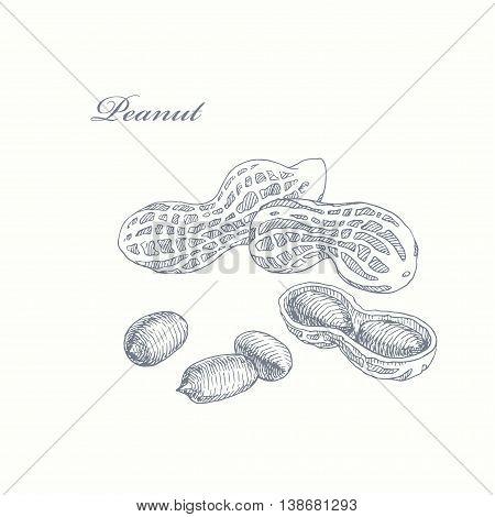 Peanut. vector hand drawn illustration of groundnut