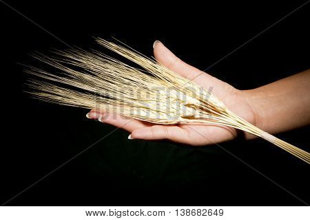 offering hands ears of wheat with black background
