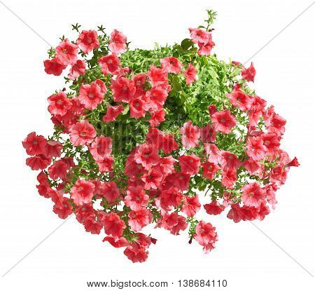 Hanging Pot With Red Althea Flowers Isolated On White