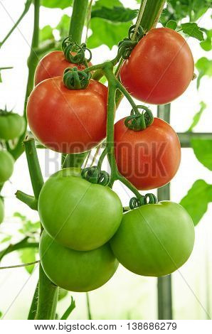Red Ripe And Green Unripe Tomatoes On The Branch