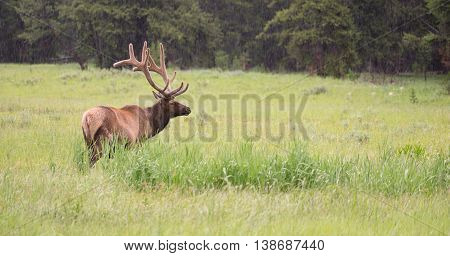 A large bull elk grazes alone in Yellowstone