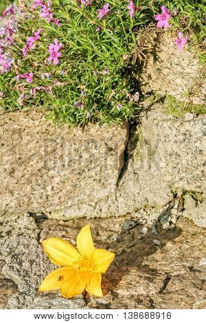 Flower of the daylily and phlox styloid on a granite retaining wall in the summer garden macro. Selective focus