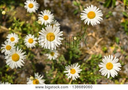 Many blooming oxeye daisy flowers in springtime