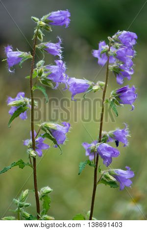 Nettle-leaved bellflower (Campanula trachelium) flowers. A blue wildflower in the family Campanulaceae native to Britain and Denmark