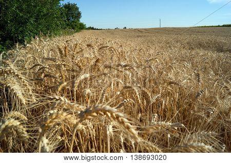Wheat (Triticum aestivum L.) is the most important grain.