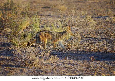 Jackal wandering in Etosha NP, looking for food