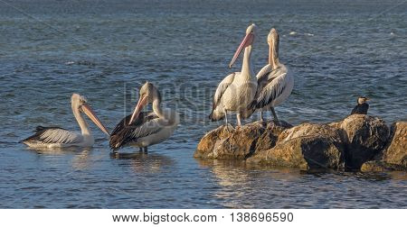 Australian Pelicans (Pelecanus conspicillatus) in the lagoon of the Blackwood River, Augusta, Western Australia.