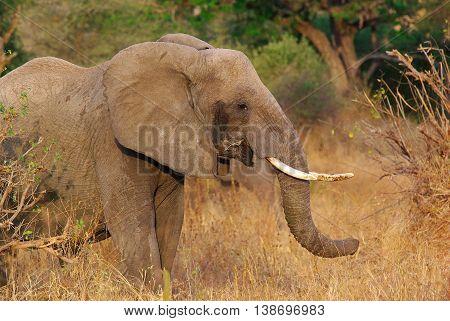 Elephant among the bush, Serengeti NP Tanzania