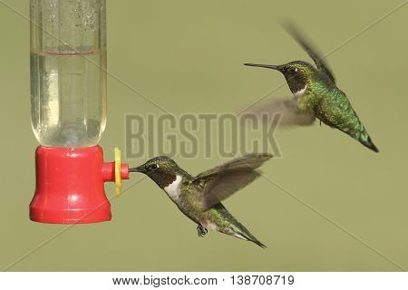 Male Ruby-throated Hummingbirds (archilochus colubris) in flight at a feeder with a green background